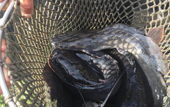 afrikai harcsa a Millér horgásztóban